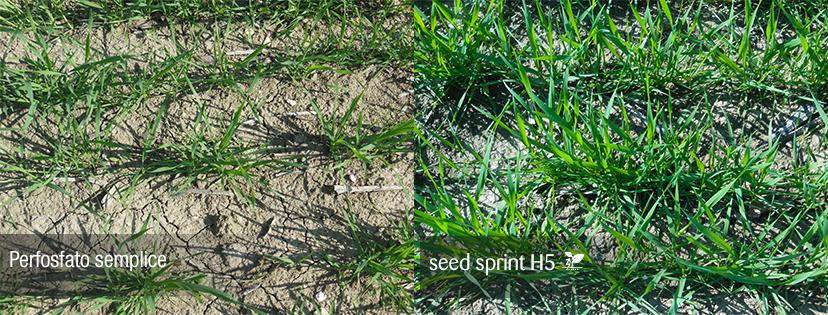 semina cereali