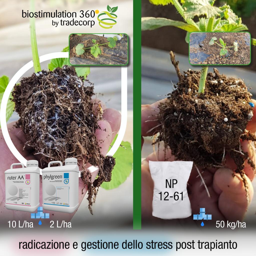 Zucchino Romano a 7 gg dal trapianto